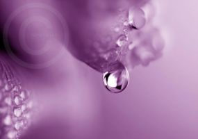 Purple Dew by ninazdesign