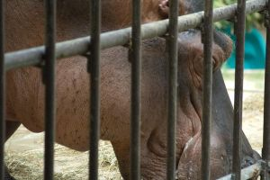 Big Hippo behind Bars by Frosttail