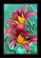 Tiger Lilies by RavenPhotography