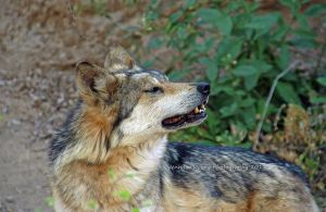 Mexican Gray Wolf 9 by MorrighanGW