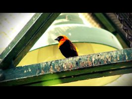 Mr. Pretty - Red Bishop Bird by roamingtigress