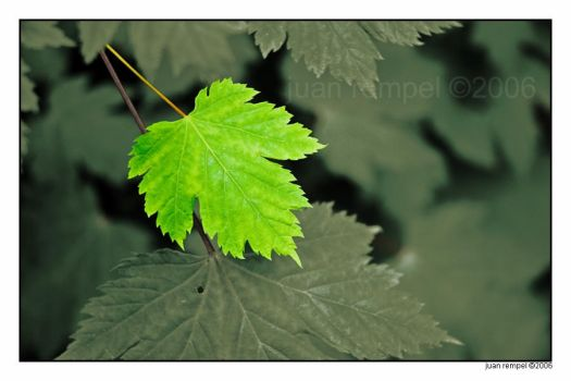 Thimbleberry leaves - Print - by NaujTheDragonfly
