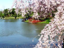 Cherry tree in bloom with lake by Chris-Young