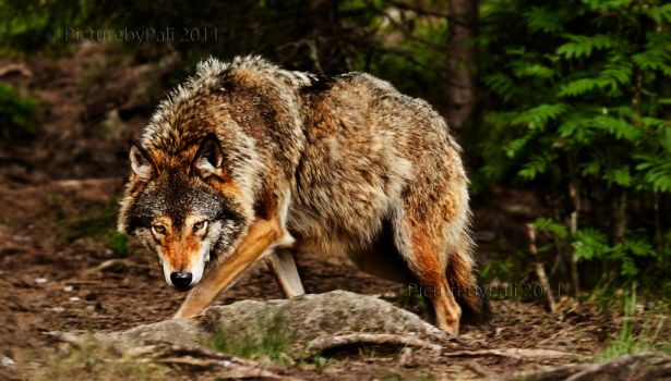 Huge Wolf by PictureByPali