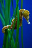 Seahorse by bam720
