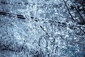 Birth Flower Cold by CasePhoto