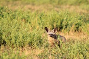 Bat Eared Fox - Elusive and Shy Wildlife by LivingWild