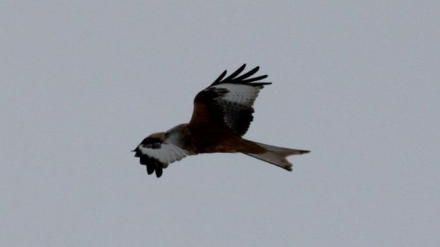 Red kite by Oraa