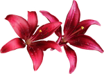 Lilly PNG 07 by Thy-Darkest-Hour