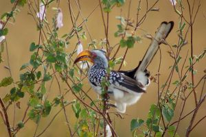 Yellow Hornbill by ruffian11