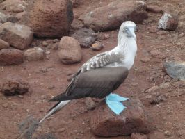 Blue Footed Booby by Madiba127
