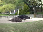 Ostrich at Cracow Zoological Garden by MrGorsh
