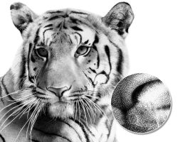 Tiger Stippling by Stevep67