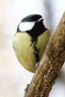 The great tit by luka567