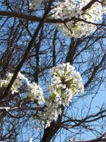White Blossoms10 by effing-stock