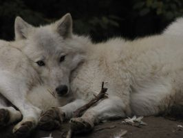 North American Arctic Wolf 16 by animalphotos