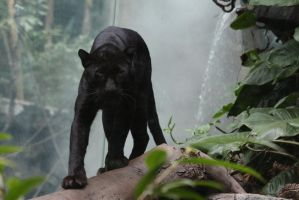 Black Leopard Stock 2 by HOTNStock