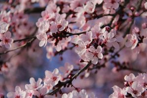 Plum Blossoms by xxStarpelt