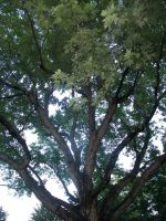Tall Tree 2 by penny-duchess-stock