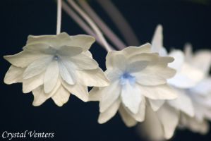White Hydrangea by poetcrystaldawn