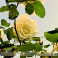 White rose III by FrancescaDelfino