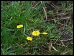 Coltsfoot in the rain by Stumm47