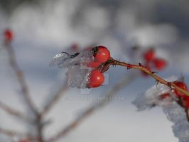 rose hip cold and warm by NiVosta
