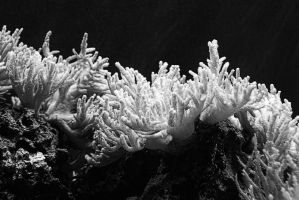 .:.Black and White Coral.:. by Ailedda