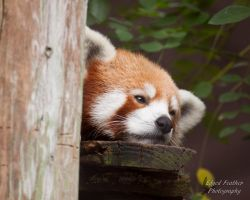 Red Panda by EdgedFeather