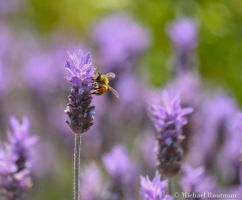 bee by Photomichael