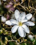 Magnolia stellata. by Phototubby