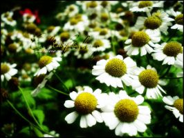 white.yellow flowers by Cold-Feelings