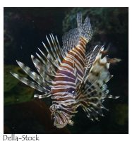 Ripley's: Lionfish by Della-Stock