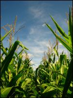 Lost in the Cornfield by PDWeasel
