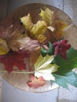 Different Colored Maple Leaves by Lightningball