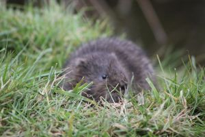 Water Vole by rogerdurling