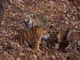Amur Tiger Stock 6: Cubs by HOTNStock