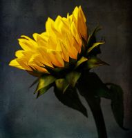 Sunflower by justinblackphotos