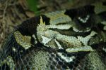 Horn Nose Snake by PhotoDreams13