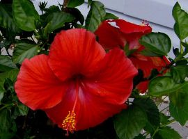 hibiscus plant by simplelines
