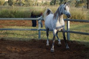 JA Arab Lightdapple Standing ready to move by Chunga-Stock
