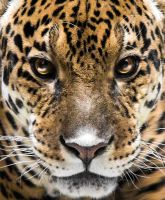 In Jaguar Eyes by OrangeRoom