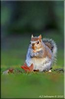 Young Squirrel II by andy-j-s