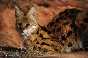 Serval by stxrs