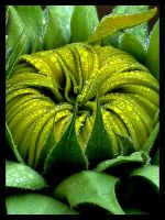 Pre-bloom Sunflower by andras120