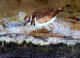 Killdeer At Monterey by coffeenoir