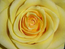 Rose yellow4 by GreenMusic