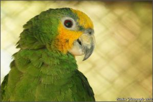 Orange-Winged Amazon Parrot by kimpy23