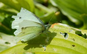 Butterfly- 'cabbage white' by umboody