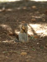 Ground squirrel 3 by P8ntBal1551